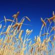 Stock Photo: Stems of the wheat under sky