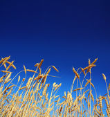 Stems of the wheat under sky — Stock Photo