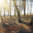 Sunbrams between bare trees — Stock Photo