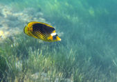 Butterfly-fish over grass — Stock Photo