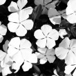 Black and white flowers close-up — Stock Photo