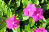 Pink flowers with green leaves — Stock Photo
