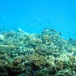 Stock Photo: Fish among corals in Red Sea