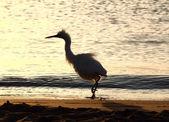 Fun disheveled heron bird — Stock Photo
