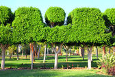 Trimmed trees in garden — Stock Photo