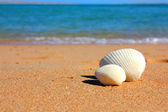 View on seashells on beach — Stock Photo
