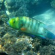 Stock Photo: Parrot fish under water