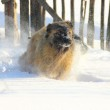 Caucasian Shepherd dog running in snow — Stock Photo #5216146