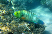Parrot fish under water — Stock Photo