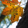 Yellow maple leaf — Stock Photo #3961938