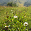 Summer mountain green meadow — Stock Photo