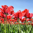 Stock Photo: Red tulips in garden