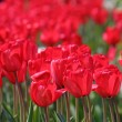 Red tulips — Stock Photo #4489270