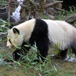 Giant panda bear walking — Stock Photo