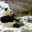 Giant panda bear eating bamboo leaf - 
