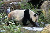 Giant panda bear walking — Stockfoto