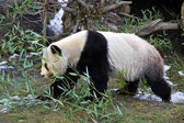 Giant panda bear walking — Stock Photo