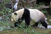 大熊猫熊走 — 图库照片