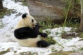 Giant panda bear eating bamboo leaf — Stock Photo