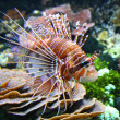 The Red lionfish - Stock Photo