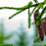 Cones on pine — Stock Photo #4032189