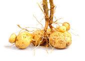 Patata con raíz — Foto de Stock