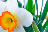 Narcissuses with droplets — Stock Photo