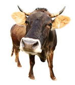 Cow isolated — Stock Photo