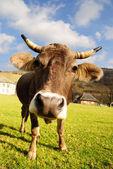 Cow — Photo