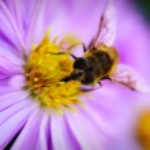Pszczoła na michaelmas stokrotka — Zdjęcie stockowe