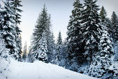 Winter fir-tree forest — Stock fotografie