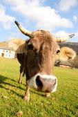 Cow graze — Zdjęcie stockowe