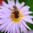 Bee on Michaelmas daisy — Stock Photo