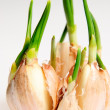 Germinate garlic — Stock Photo #4731114