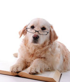 Golden retriever learning — Stock Photo