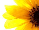 Sunflower isolated — Stock Photo