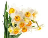 Narcissuses — Stock Photo