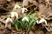 First snowdrops — Stock Photo