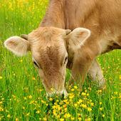 Cow graze — Stock Photo