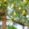 Stock Photo: Unripe coniferous