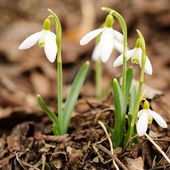 First snowdrop — Stock Photo