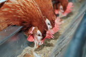 Red hens in trough — Stock Photo
