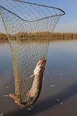 Pike fishing nets — Stock Photo