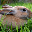 Grey Rabbit — Stock Photo #4022241