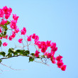 Hedge bougainvillaea — Stock Photo