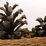 Cone pine — Stock Photo