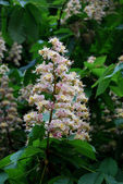 Aesculus hippocastanum — Stock Photo