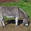 Stock Photo: Grazed mule