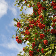 Stock Photo: Mountain ash on blue sky