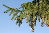 Fir branch over blue sky — Stock Photo